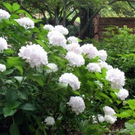 Hydrangea White Mophead - Soeur Therese - Large White Flowers