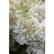 Large Specimen - Hydrangea paniculata Phantom