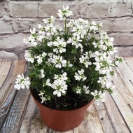 Iberis sempervirens 'Snowcone' - Hardy Candytuft