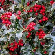 Ilex aquifolium - Common Holly