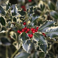 Ilex aquifolium 'Argentea Marginata' - Female Silver Variegated Holly