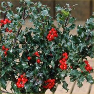 Ilex meserveae Blue Angel - Potted Holly