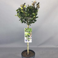 SPECIAL DEAL - Ilex Blue Prince - Male Holly Tree