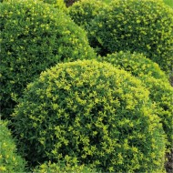Topiary Ball - Ilex crenata Green Glory - Box leaved Japanese Holly