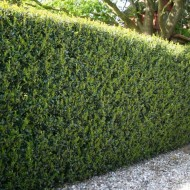 Hardy Box-leaved Hedging - Ilex crenata Green Hedge Plants - Pack of EIGHT