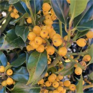 Rare Yellow Berry Holly Trees - Ilex aquifolium Bacciflava - Covered in Berries - LARGE SPECIMEN
