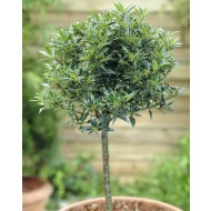 Holly Tree Patio Standard - Ilex aquifolium Myrtifolia