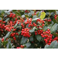 Majestic Metre Tall Holly Tree Standard - Ilex Nellie Stevens - Fantastic Gift Idea!