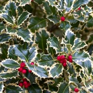 Ilex aquifolium Handsworth New Silver - Variegated Female Holly