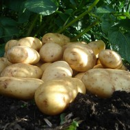 International Kidney - Salad Seed Potatoes - Pack of 10
