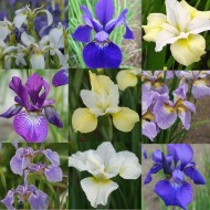 Lovely Colours Premier Iris Collection - Pack of TEN