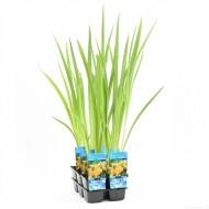 Iris pseudacorus - Yellow Iris - Water Flag