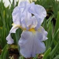 Iris Springtime Madonna