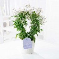 MOTHERS DAY - Perfumed Chinese Jasmine Trained on a Hoop in White Pot with 200+ Buds!