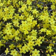 Jasminum nudiflorum - Winter Jasmin - Bright Yellow Flowering Winter Jasmine