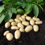 Jazzy - Salad Seed Potatoes - Pack of 10