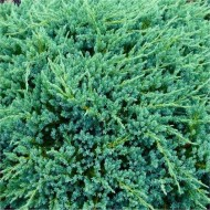 Juniperus squamata 'Blue Carpet'