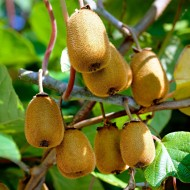 Kiwi Fruit Vine - Actinidia deliciosa 'Jenny' - Self Fertile Kiwi