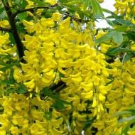 Laburnum x watereri 'Vossii' - Voss' laburnum - Golden Rain Tree