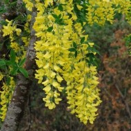 Laburnum anagyroides - Golden Chain Tree - 170-190cm