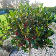Majestic Large 150cm Alaska Holly Tree Standard covered in Berries - Fantastic Gift Idea!