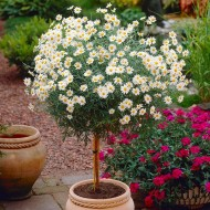 Marguerite Giant Daisy Tree - Perfect for Patios - LARGE Patio Standard Tree