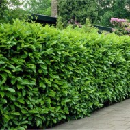 Pack of 10 Cherry Laurel Hedging - Prunus laurocerasus Rotundifolia Hedging Laurels - Approx 2ft tall Bushy Plants +