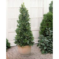 Large Bay Tree Pyramid - Laurus nobilis- 120-140cm