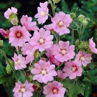 Lavatera x clementii Rosea