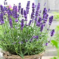 Lavendula angustifolia Hidcote - English Lavender Hidcote Blue - Pack of THREE Large Plants