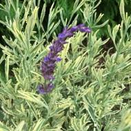 Lavender Meerlo - Gold Variegated Lavender