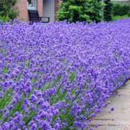Munstead English Lavender - Lavandula angustifolia 'Munstead' - Pack of THREE Plants