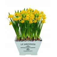 'Le Jardiniere' Dwarf Daffodil Indoor Ceramic Grow Set