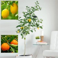 LARGE 120-140cm Citrus Trees - 1 x LEMON & 1 x ORANGE + FREE Citrus Feed