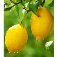 Large 80-100cms Citrus Tree - LEMON - Perfect in Gin!