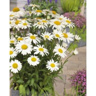Leucanthemum x superbum Snow Lady - Pack of THREE Giant White Shasta Daisy Plants