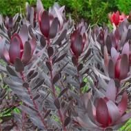 Protea Leucadendron 'Burgundy Sunset' - Purple Protea