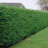 Leylandii - Green Leyland Cypress - Cuprocyparis leylandii - Approx 5-6ft Hedging Conifers