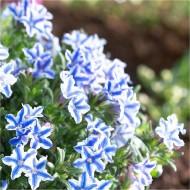 Lithodora diffusa BLUE STAR - Bicolour Groundcover