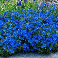 Lithodora diffusa Grace Ward - Heavenly Blue - In Bud & Bloom