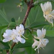 Lonicera Fragrantissima - Winter Honeysuckle
