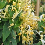 Lonicera similis var Delavayi - Evergreen Honeysuckle