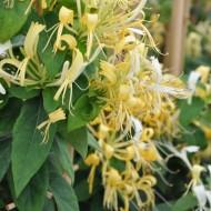 Large 5-6ft Climber - Lonicera similis var Delavayi - Evergreen Honeysuckle