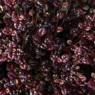 WINTER SALE - Lophomyrtus x ralphii 'Black Pearl' - New Zealand Myrtle