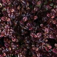 Lophomyrtus x ralphii 'Black Pearl' - New Zealand Myrtle