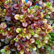 Lophomyrtus x ralphii 'Kathryn' - New Zealand Myrtle