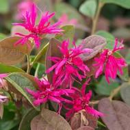 Loropetalum chinensis Daybreaks Flame - Chinese Witch Hazel - Fringe Bush