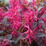 Loropetalum chinensis Plum Gorgeous - Dark Leaf Chinese Witch Hazel Plants