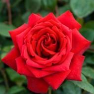Rose Loving Memory - Hybrid Tea Rose