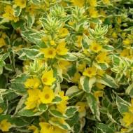 Lysimachia punctata Alexander - Variegated Golden Blooming Loosestrife